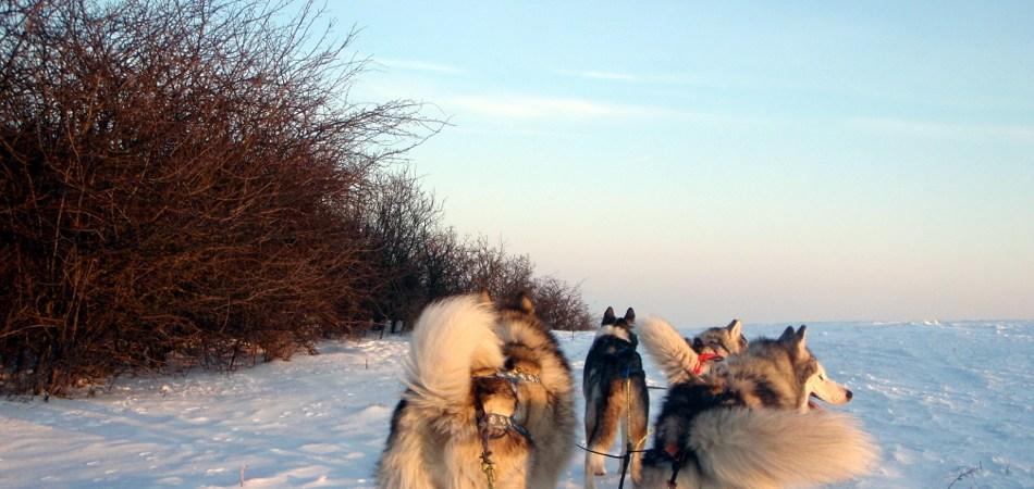 Mit Schlittenhunden in Deutschland den Winter erleben