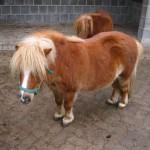 Pony im Hotel Freund