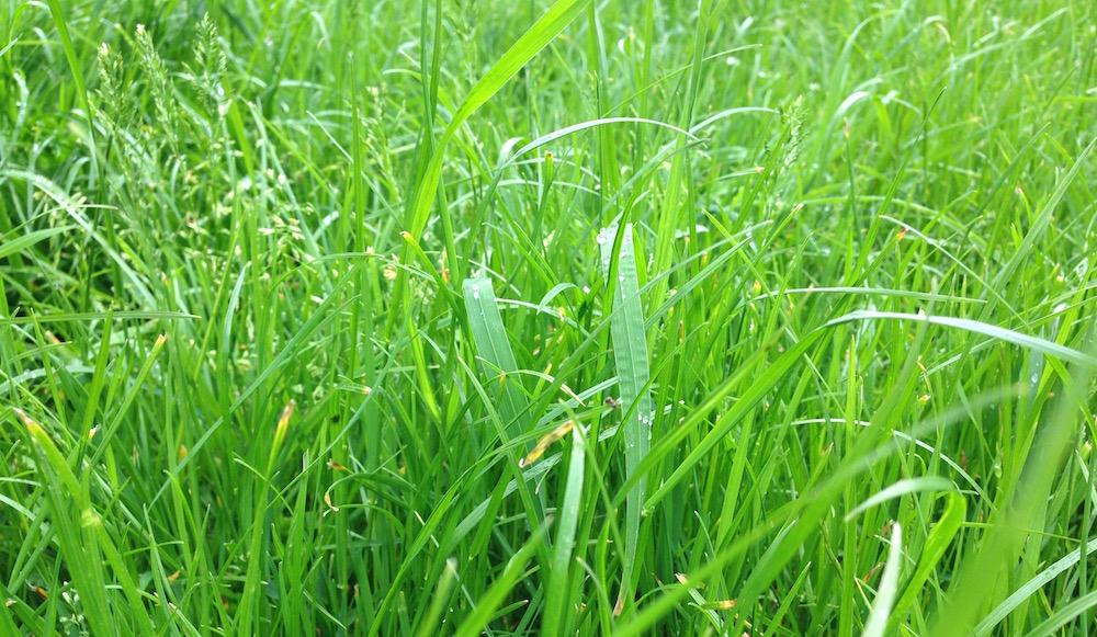 Schöner Anblick beim Wandern: Saftige Wiesen, die noch mit Morgentau bedeckt sind.