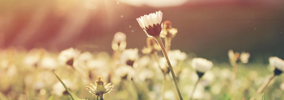 Ein Gänseblümchen auf einer Wiese in der Sonne